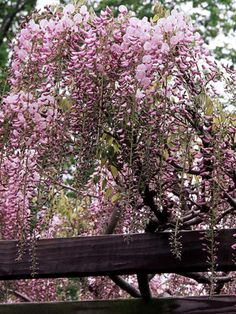 Pink Wisteria - (Wisteria floribunda 'Honbeni') offers clusters of pink flowers in late spring. It climbs to 30 feet. Zones 5-9