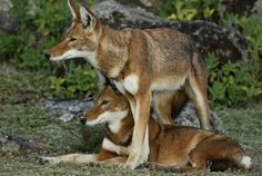 WOLVES, Ethiopian wolves (Canis simensis) by Delphin Ruche