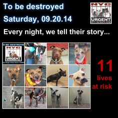 TO BE DESTROYED: 16 Dogs to be euthanized by NYC ACC- SAT. 9/20/14. This is a HIGH KILL shelter group. YOU may be the only hope for these pups! ****PLEASE SHARE EVERYWHERE!!  To rescue a Death Row Dog, Please read this:  http://urgentpetsondeathrow.org/must-read/    To view the full album, please click here:    https://www.facebook.com/media/set/?set=a.611290788883804.1073741851.152876678058553&type=3