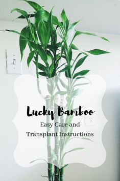 Lucky Bamboo easy care and transplant instruction guide for fast growing, healthy bamboo! Lucky Bamboo Care, Bamboo Plant Care, Lucky Bamboo Plants, Indoor Bamboo, Indoor Plants, Indoor Gardening, Growing Bamboo Indoors, Diy Garden Table, Garden Ideas