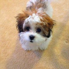Teddy Bear puppy = Shih-Tzu + Bichon Frise
