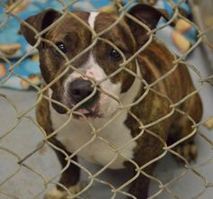 Kennel # 03 - URGENT - LORAIN COUNTY DOG KENNEL in Elyria, Ohio - ADOPT OR FOSTER - Young Female Boxer Mix - Available December 13, 2016
