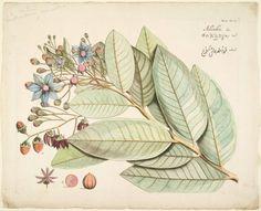heaveninawildflower: Adamboe from Hortus Indicus...