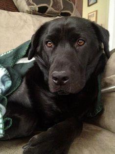 Labrador Retriever #labradorretriever