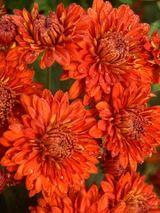 Chrysanthemum Mickey