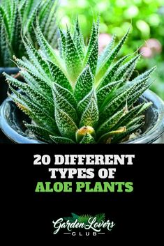 20 different types of aloe plants - Dekoration Ideen 2019 Types Of Aloe Plants, Types Of Houseplants, Cacti And Succulents, Planting Succulents, Aloe Plant Care, Growing Aloe Vera, Easy House Plants, Plant Guide, House Plant Care