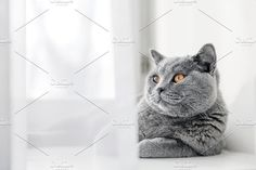 Noble proud cat lying on window sill. The British Shorthair by Photocreo Michal Bednarek on @creativemarket