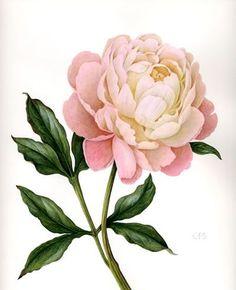Peony Sarah Bernhardt - Watercolour by Christine Stephenson - Botanical Artist