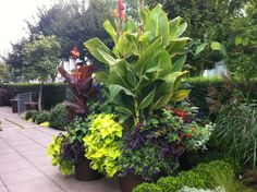 Cannas have lush foliage, but can be top heavy. Try underplanting cannas with low-growing pots to cover up those bare ankles.