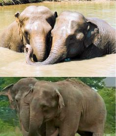 MEMORY! Two retired circus elephant who reunited after a 25-year old separation under the roof of the shelter. Jenny and Shirley took the circus at the one time: Jenny still quite small, and Shirley at the age of 20 years. 25 years later they are reunited in an orphanage for elephants. At night, when they saw each other again, they tried to reach their trunks to each other through the bars of the cage. After this became inseparable friends. # http://bigpicture.ru/?p=306674 #