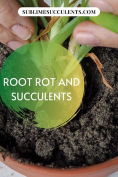 Root rot is the bane of many succulent enthusiasts' existence. On this pin, we're going to discuss how to identify root rot, how to treat it, and how to prevent it. See more details from this pin! #succulents #cacti #indoorgardening #outdoorgardening #gardeningtips #rootrot Flowering Succulents, Cacti And Succulents, Planting Succulents, Succulent Species, Succulent Soil, Natural Antifungal, Gardening Tips, Greenhouse Gardening, Container Gardening
