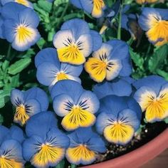 Pansy, Ultima Morpho - Garden Seeds - Annual Flower Seeds