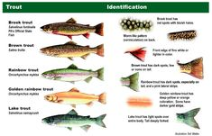 This is about brown trout (salmo trutta) fishing. The brown is the smartest and hardest to catch species of trout. Get tips to bag your brown here. Fly Fishing Tips, Gone Fishing, Best Fishing, Saltwater Fishing, Kayak Fishing, Fishing Tricks, Alaska Fishing, Fishing Stuff, Fishing Quotes