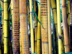 Bamboo - Bamboe