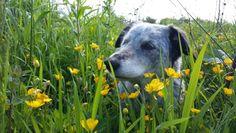Collie pups n buttercups