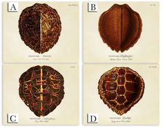 PRODUCT DESCRIPTION Complete your nautical decor with these beautiful vintage turtle shell art prints available in either landscape or portrait orientation. Each turtle shell print is unique and contains the scientific and English name of each turtle. This print is a part of the Vintage Turtle Shell Collection. See our other nautical listings for the other coordinating prints: http://www.etsy.com/shop/SecretHarborDesigns?section_id=13297012  ORDERING INSTRUCTIONS: One...