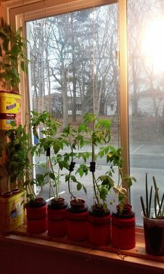 My hydroponic windowsill garden. Basil, cherry tomato and scallions