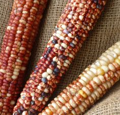 "Tarahumara Serape:  ""This gorgeous Cristalino de Chihuahua land race has beautiful long slender ears, pearly white, red and striped kernels. Approx. 14g/50 seeds per packet.""  flint/flour"