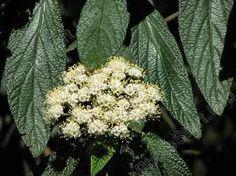 viburnum rhytidophyllum - Google zoeken