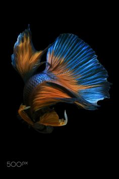 MOVE - Capture the moving moment of  blue siamese fighting fish isolated on black background. Betta fish