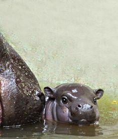 Rare Pygmy Hippo Baby Debuts at Gladys Porter Zoo