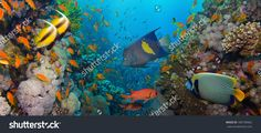 Coral And Fish In The Red Sea.Egypt Стоковые фотографии 180738962 : Shutterstock