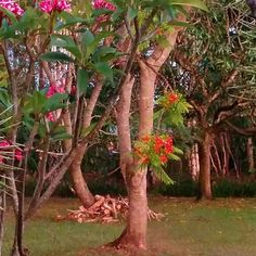 My poinsiana tree and the red frangipani tree all in bloom.  Lovely.