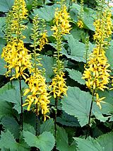 ligularia przewalskii Shrubs, Perennials, Garden, Plants, Shade Shrubs, Garten, Flora, Plant, Hedges