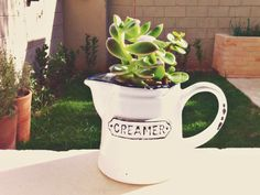 Succulent in creamer pot, one of my garden creations