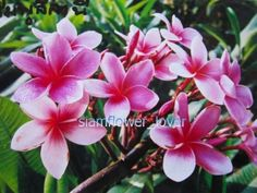 Plumeria-Frangipani-Chompoo-Leelanee-4-Rare-Fresh-Seeds
