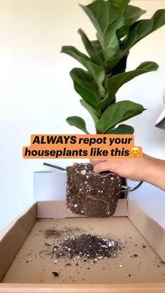 Indoor Garden, Garden Plants, Indoor Plants, Home And Garden, House Plants Decor, Plant Decor, Ficus, Household Plants, Inside Plants