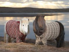 Shetland ponies in sweaters (© Rob McDougall Rex Features)