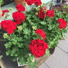 'Kärlekspelargon'              Calliope Dark Red
