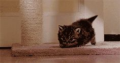 The waddle, the tail — the cuteness is strong with this one. | The 10 Funniest Cat GIFs Of The Week