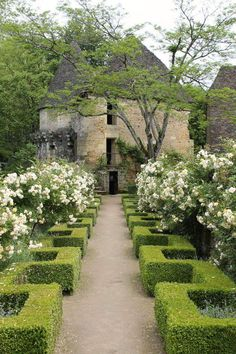 Formal hedging softened by lavender and billowing roses