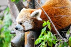 The San Diego Zoo is where I first saw a Red Panda in real life!  :)