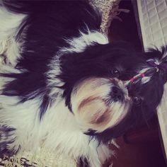 lucy._.shihtzu : 💕🐶🐾 #dogmodel #doglovers #doglover #dog #instadog #shihtzu #shihtzusofinstagram #shihtzucorner #shihtzumania #shihtzulovers #shihtzugram #shihtzusofinstagramuse #shihtzulove #instashihtzu #instalike