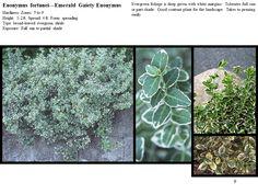 Emerald_Gaiety_Euonymus.GIF (960×720)