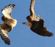 Northern Harrier territory dispute at Chico Basin Ranch, Colorado. *Photo by Bill Maynard #ChicoBasinRanch