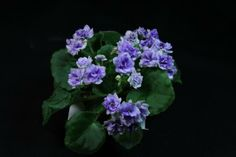 Winnergreen (H. Pittman) AVSA Registration: 4693. Double white, green and lavender frilled. Light green ruffled foliage. Semi-minature. Bluebird Greenhouse, Apex NC