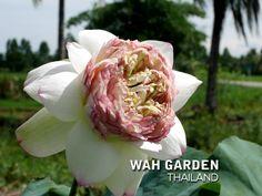 บัวหลวงกลีบซ้อน Juwuba 13 TH1 | www.Klong15.com บัวหลวงกลีบซ… | Flickr Nelumbo Nucifera, Rose, Garden, Plants, Flowers, Pink, Garten, Lawn And Garden, Gardens