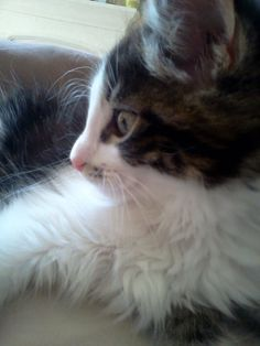 My former foster Sebastian , now Gatsby. He is a Norwegian Forest cat.