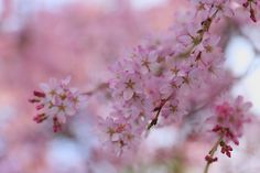 swing dropping cherry blossoms.- cate Flickr