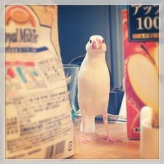 物の隙間を探検中の文鳥。かなり背が高い… #buncho pic.twitter.com/BhleRgFw8O