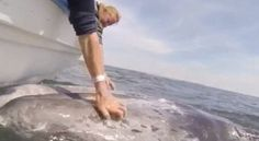 Amazing video of a mother and baby whale being stroked by tourists in San Ignacio, Mexico