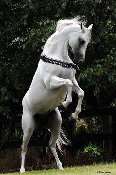 Arabian Horse Arabian Horse Show - Western Competition Egyptian Stallion Breeding  ☆