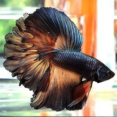 Not sure i trust the source, but this fish is beautiful!