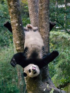 Giant Panda cub having fun in a game park.
