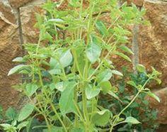 Solução natural anti-pragas | SAPO Lifestyle