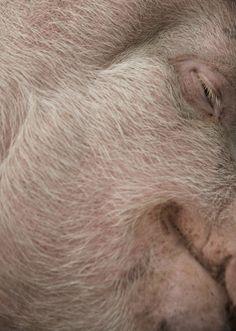 Pig Skin Disorders | Cuteness.com